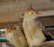Pássaros curiosos Fotos de Stock Royalty Free