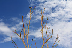 Pássaros da andorinha de celeiro que empoleiram e que enfeitam-se suas penas Foto de Stock Royalty Free
