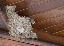 Pássaros da andorinha que esperam o alimento Fotos de Stock Royalty Free
