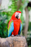 Pássaros da arara Foto de Stock