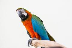 Pássaros da arara imagens de stock royalty free
