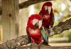 Pássaros da cacatua que luving a vida imagem de stock royalty free