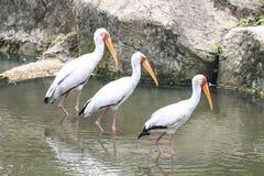 Pássaros da cegonha na água Fotos de Stock