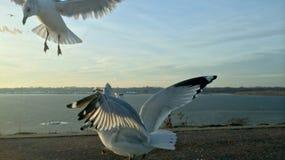Pássaros da gaivota do voo e céu azul Fotos de Stock Royalty Free