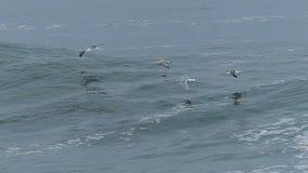 Pássaros da gaivota que voam sobre uma onda de oceano grande filme