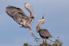 Pássaros da garça-real de grande azul do aninhamento Foto de Stock