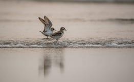 Pássaros da praia Foto de Stock