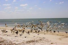 Pássaros da praia em voo Fotos de Stock Royalty Free