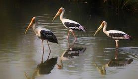 Pássaros das cegonhas de Paited foto de stock
