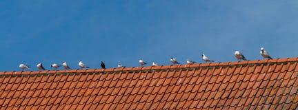 Pássaros das gaivotas Imagem de Stock Royalty Free