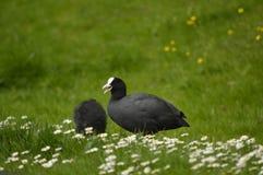 Pássaros de água Fotos de Stock Royalty Free