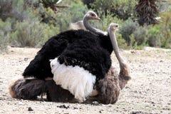 Pássaros de acoplamento da avestruz fotografia de stock