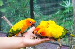 Pássaros de alimentação de Sun Conure Fotografia de Stock