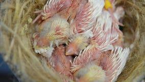 Pássaros de bebê filme
