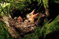 Pássaros de bebê com fome Fotos de Stock Royalty Free