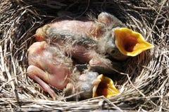 Pássaros de bebê com fome Foto de Stock