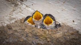 Pássaros de bebê com fome dos pintainhos Imagens de Stock