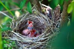 Pássaros de bebê com fome em um ninho Fotos de Stock