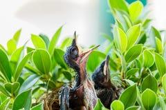Pássaros de bebê com fome em um ninho que quer o pássaro da mãe vir Foto de Stock Royalty Free