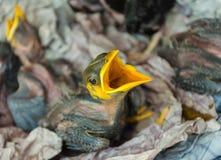 Pássaros de bebê com fome no ninho Foto de Stock Royalty Free