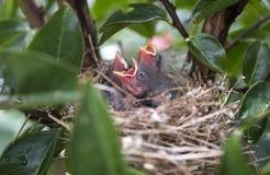 Pássaros de bebê com fome que chilram para o alimento em um ninho, Geórgia EUA imagens de stock