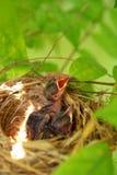 Pássaros de bebê com fome recém-nascidos Fotos de Stock Royalty Free