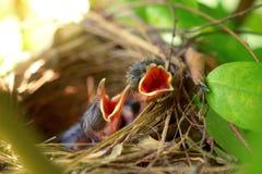 Pássaros de bebê com fome recém-nascidos Fotos de Stock