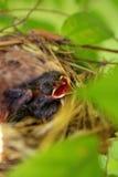 Pássaros de bebê com fome recém-nascidos Fotografia de Stock