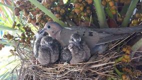 Pássaros de bebê e sua mãe Imagens de Stock Royalty Free
