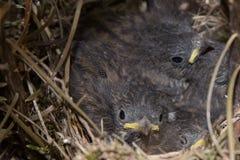 Pássaros de bebê em um ninho Imagem de Stock