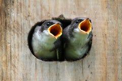 Pássaros de bebê em uma casa do pássaro Fotografia de Stock Royalty Free
