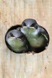 Pássaros de bebê em uma casa do pássaro Imagens de Stock Royalty Free