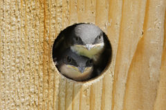 Pássaros de bebê em uma casa do pássaro Fotos de Stock