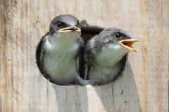 Pássaros de bebê em uma casa do pássaro Imagem de Stock Royalty Free