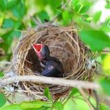 Pássaros de bebê no ninho Fotografia de Stock Royalty Free