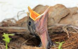 Pássaros de bebê no ninho Fotos de Stock Royalty Free