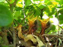 Pássaros de bebê no ninho Foto de Stock