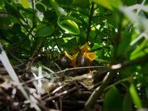 Pássaros de bebê no ninho Imagem de Stock Royalty Free