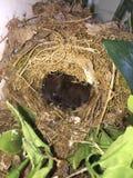 Pássaros de bebê no ninho Fotografia de Stock