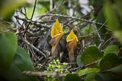 Pássaros de bebê no ninho Imagens de Stock Royalty Free