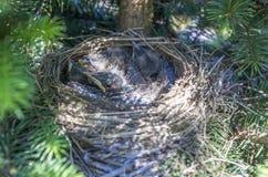 Pássaros de bebê no ninho fotos de stock