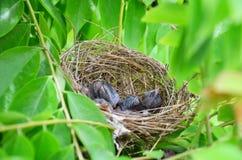 Pássaros de bebê no ninho do pássaro Fotografia de Stock Royalty Free