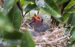 Pássaros de bebê no ninho, Geórgia EUA imagens de stock