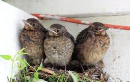 Pássaros de bebê prontos para voar do ninho Imagem de Stock