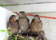 Pássaros de bebê prontos para voar do ninho Fotografia de Stock