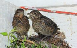 Pássaros de bebê prontos para voar do ninho Foto de Stock Royalty Free