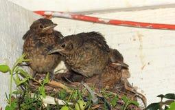 Pássaros de bebê prontos para voar do ninho Imagens de Stock