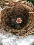 Pássaros de bebê que esperam o alimento Imagem de Stock Royalty Free