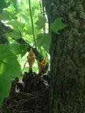 Pássaros de bebê que esperam para ser alimentado Imagem de Stock Royalty Free