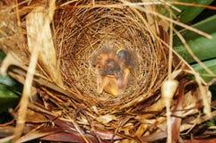 Pássaros de bebês que dormem no ninho Imagem de Stock